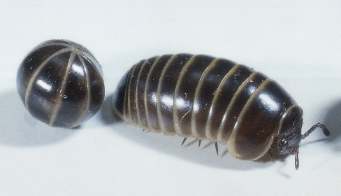 pill bugs essay Pill bugs are more closely related to shrimp and lobsters than crickets or butterflies -- plus other little known facts about roly polies.